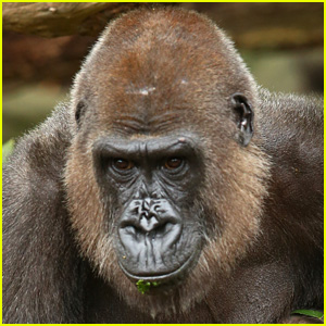 Celebrities React to Harambe the Gorilla Shooting at Cincinnati Zoo After Child Enters Enclosure - Read the Tweets