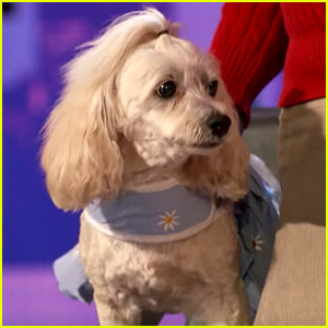 This Dog on 'America's Got Talent' Can Count Better Than Some People! (Video)