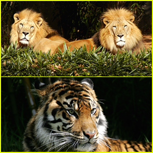 More Tigers & Lions Test Positive For Coronavirus at Bronx Zoo